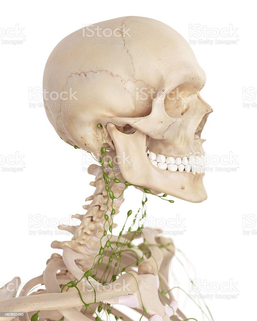 Der Halswirbelsäule Lymphknoten Stock-Fotografie und mehr Bilder von ...