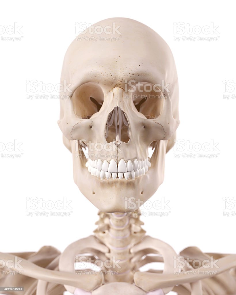 The Cervical Spine And Skull Stock Photo More Pictures Of 2015