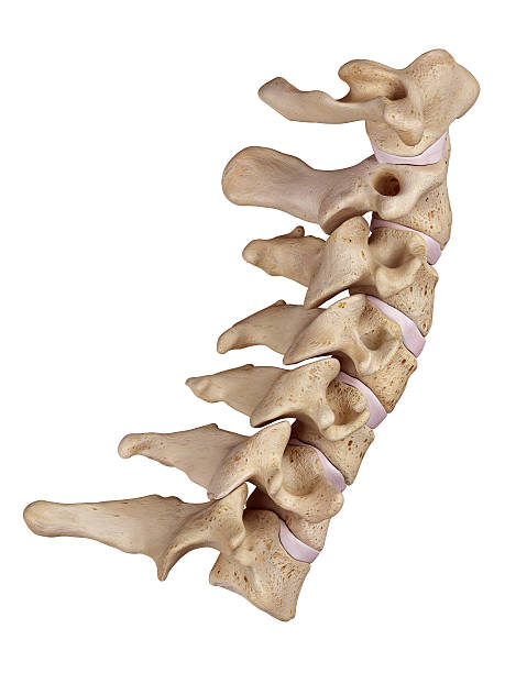 The cervical spine medically accurate illustration of the cervical spine cervical vertebrae stock pictures, royalty-free photos & images