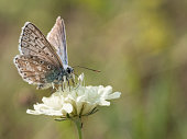 istock The chalkhill blue (Polyommatus coridon) is a butterfly in the family Lycaenidae. 1127010725