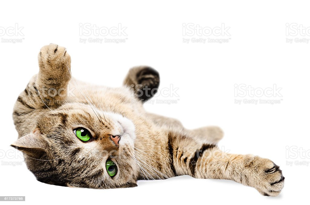 The charming green-eyed cat sprawled on the floor stock photo