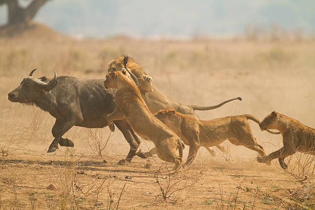 the chase - lioness stock photos and pictures