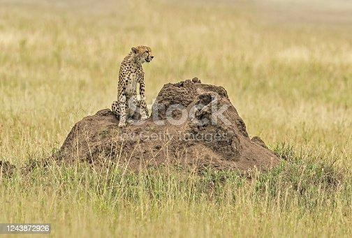 The cheetah, Acinonyx jubatus) is a large cat of the subfamily Felinae. Serengeti National Park