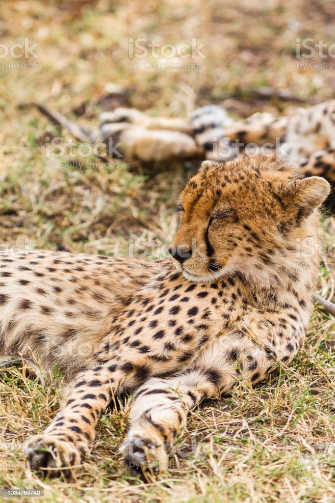 The cheetah is sleeping in the savannah. Masai Mara, Kenya stock photo