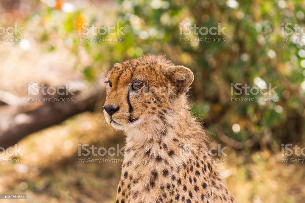 The cheetah looks into the savannah. Masai Mara, Kenya stock photo