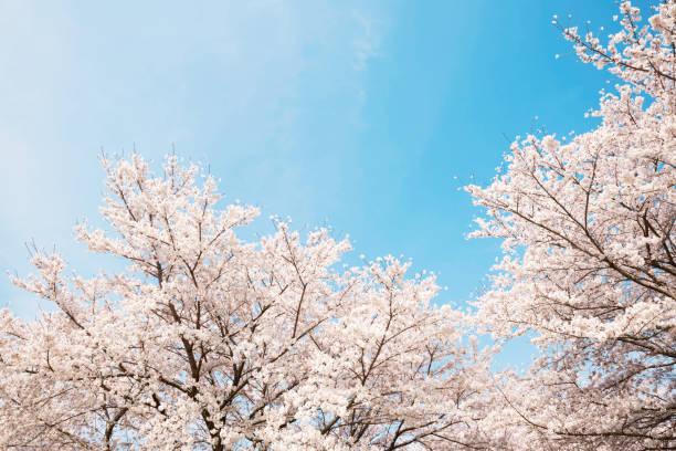 the cherry blossoms in japan - cherry blossoms imagens e fotografias de stock