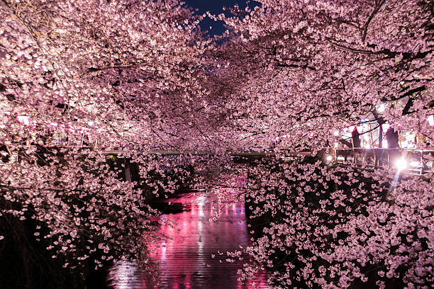 The cherry blossoms Special light up in Tokyo. stock photo