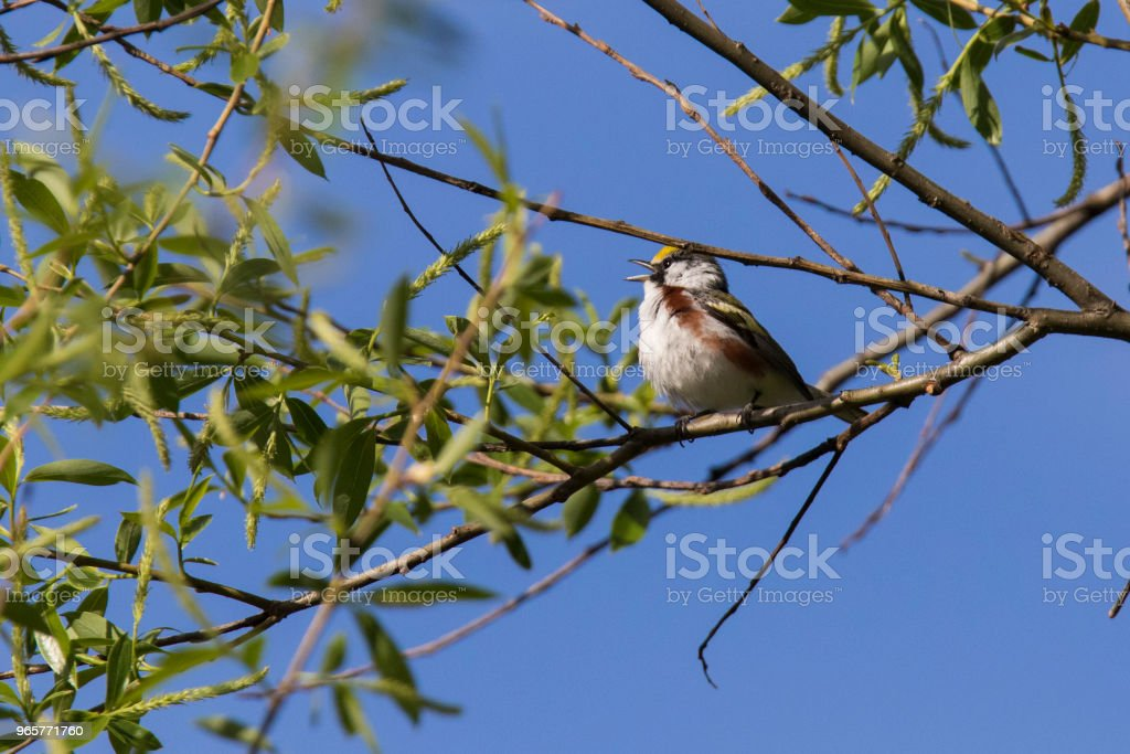 The chestnut-sided warbler - Royalty-free Animal Stock Photo