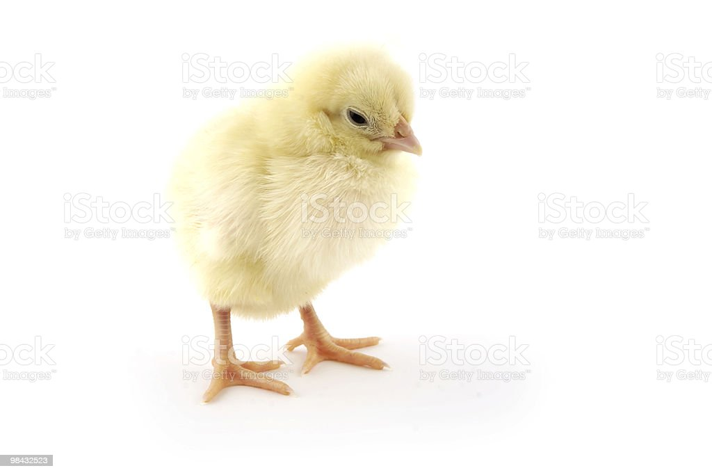 The chick royalty-free stock photo