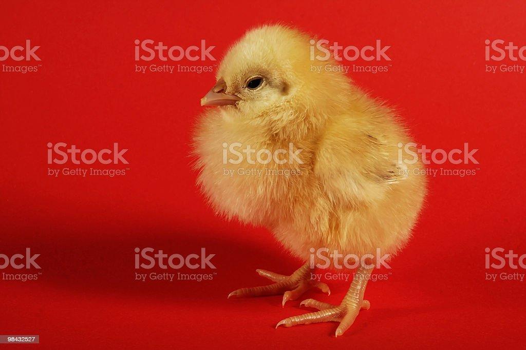 이 chick royalty-free 스톡 사진