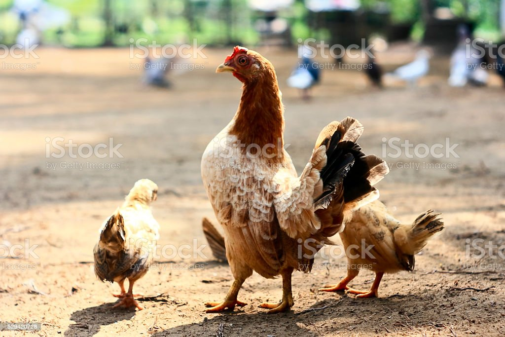 The chicken with her chicks stock photo