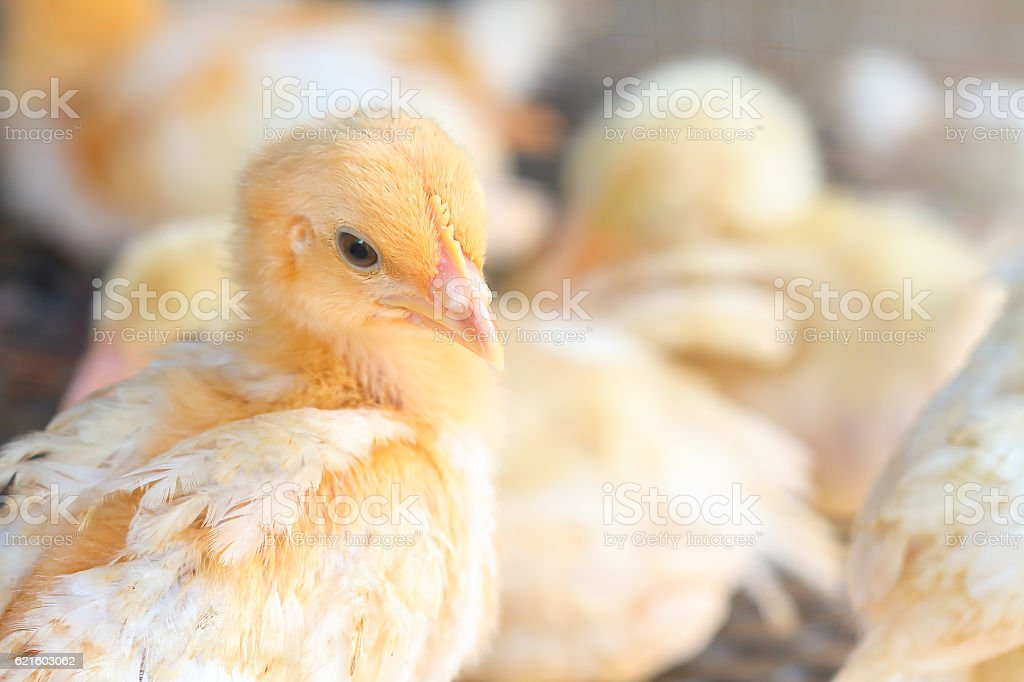 The chicks feed in cages . stock photo