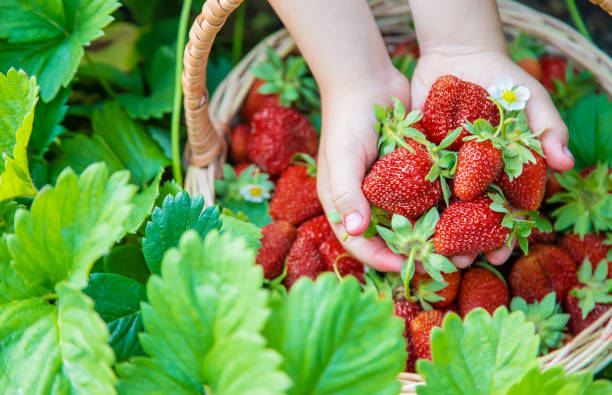 het kind verzamelt aardbeien in de tuin. selectieve focus. - plukken stockfoto's en -beelden