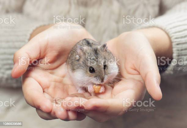 The child holds in his hands a hamster picture id1086639586?b=1&k=6&m=1086639586&s=612x612&h=vskvrwvtcxwmvyoomu4u lzktota 1hszf jw1usamm=