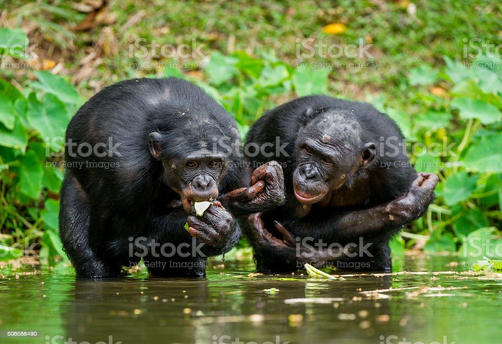 The chimpanzee Bonobo in the water. stock photo