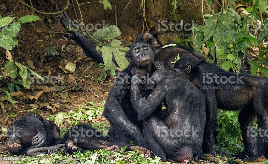 The Chimpanzee Bonobos family stock photo