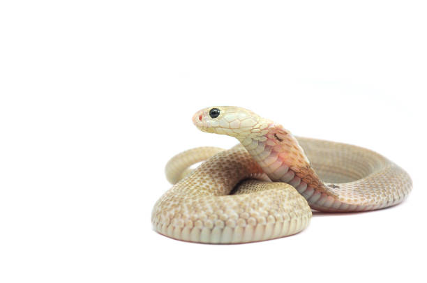 the chinese cobra isolated on white background - snake strike stock photos and pictures