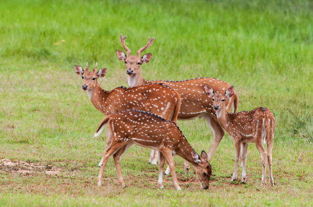 The chital or cheetal (Axis axis), also known as spotted deer or axis deer, Yala National park, Sri Lanka. The chital or cheetal (Axis axis), also known as spotted deer or axis deer, Yala National park, Sri Lanka. axis deer stock pictures, royalty-free photos & images