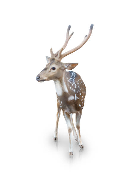 The chital or spotted deer isolated on a white background(clipping path) The chital or spotted deer isolated on white background(clipping path) axis deer stock pictures, royalty-free photos & images
