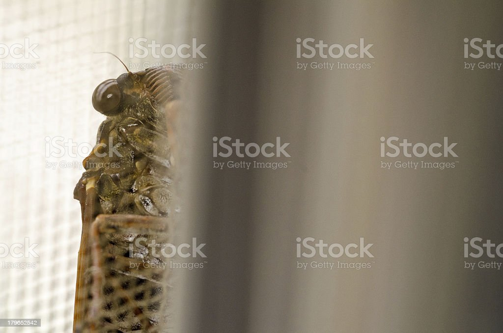 The cicada into which it looks royalty-free stock photo