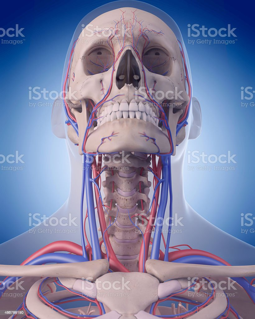 the circulatory system - neck stock photo