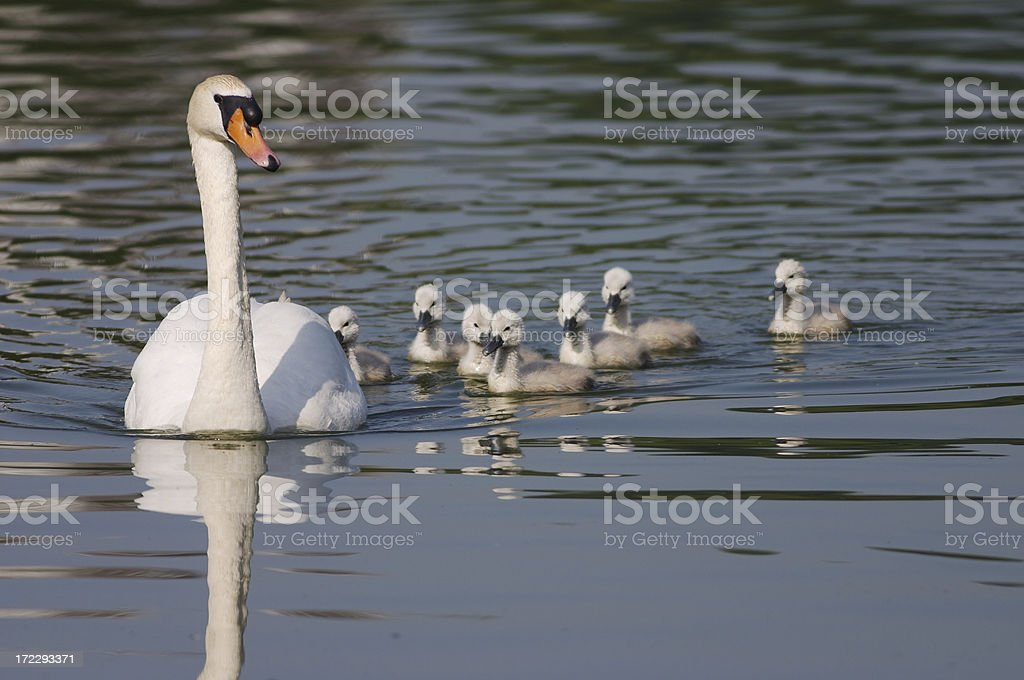 Mute swan mother with trailing cygnets stock photo