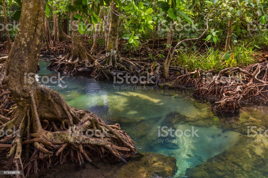 The clear green stream flows through the mangrove forest root. 'nIn the midst of the shady and beautiful nature. Tha Pom Klong Song Nam beautiful and famous tourist destination in Krabi, Thailand. stock photo