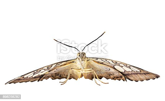 istock The clipper butterfly is ready to fly. Front view, isolated on white background 898258282