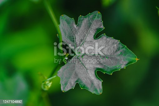 The close up of the leaves Ivy Gourd is a vegetable with a green and soft focus background.