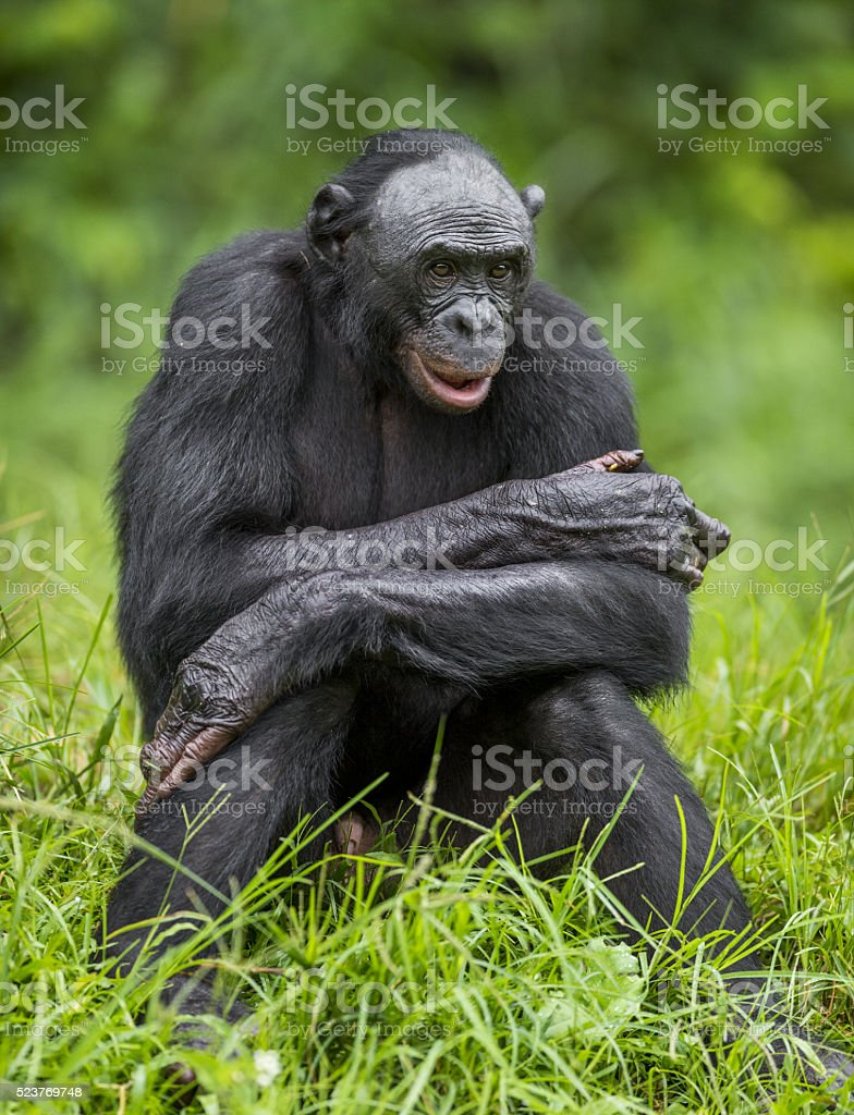 Gros plan le portrait de Chimpanzé pygmée - Photo