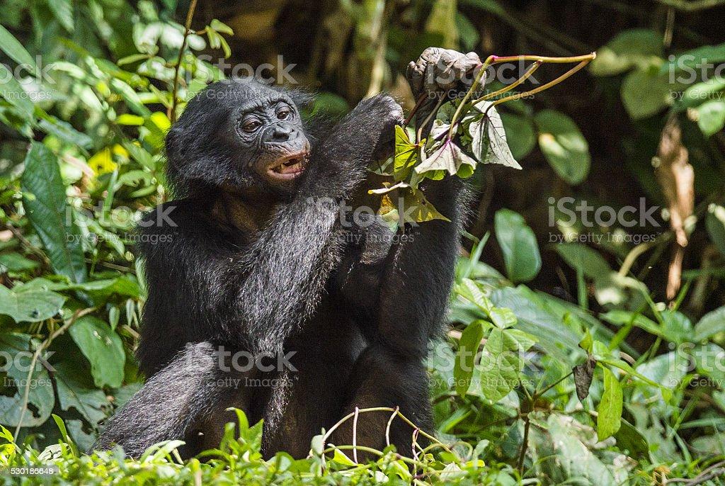 The close up portrait of eating juvenile Bonobo stock photo