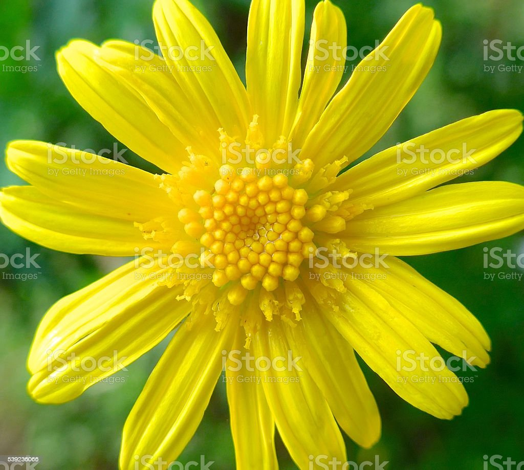 The close view of yellow daisy royalty-free stock photo