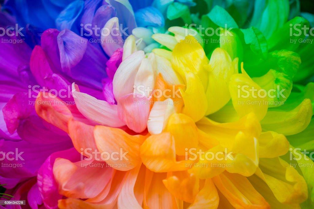 The closeup of rainbow Chrysanthemum. stock photo