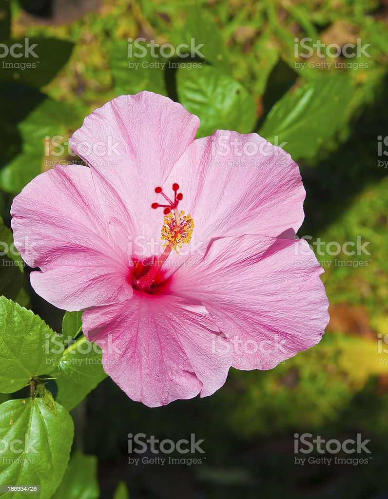 The Closeup pink hibiscus flower royalty-free stock photo