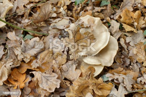The clouded agaric (Clitocybe nebularis) is common in UK mixed and confierous forests. Shown here is part of a mushroom circle or 'fairy ring' on the floor of a damp mixed woodland. The fallen leaves – here, mostly oak – are already beginning to form a fertile mulch, a nutrient-rich base for new plants to grown in. Clouded agaric is not exactly recommended in the good food guide, but may be edible in small amounts and is said to be tasty.