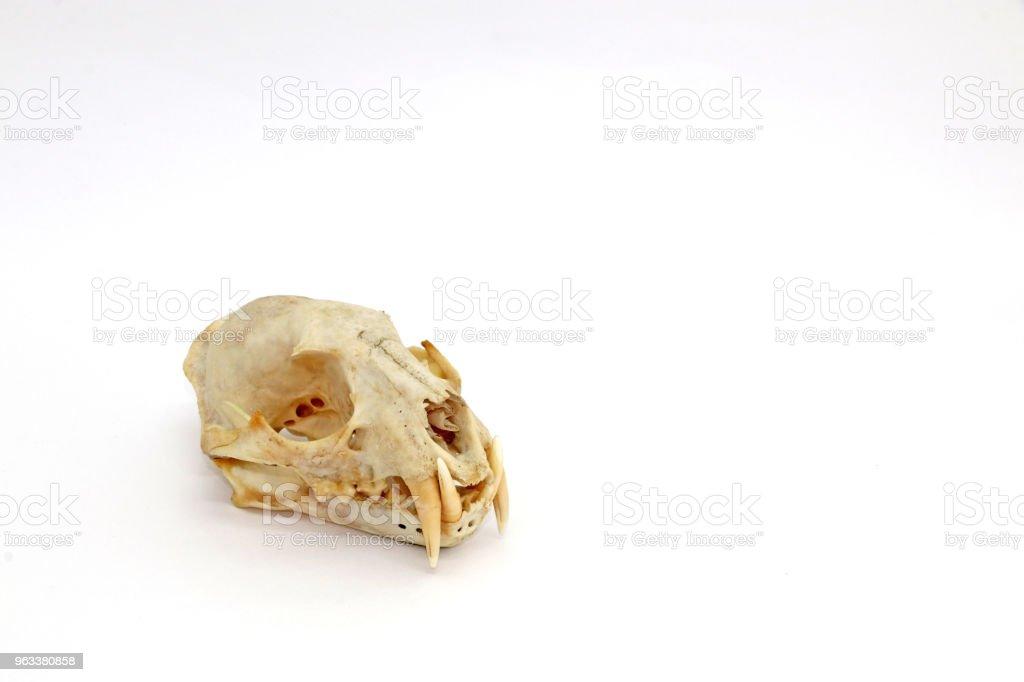 The clouded leopard skull. - Zbiór zdjęć royalty-free (Biologia - Nauka)