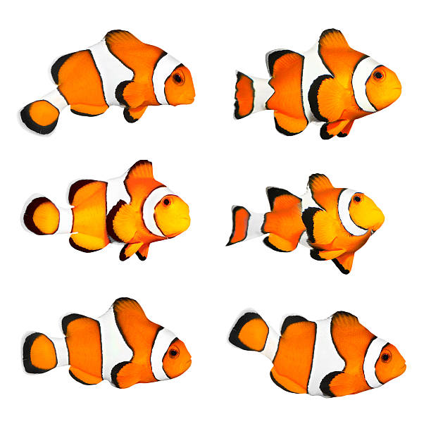 The Clownfish (Amphiprion ocellaris) Set of a clownfish in different positions isolated on a white background. anemonefish stock pictures, royalty-free photos & images