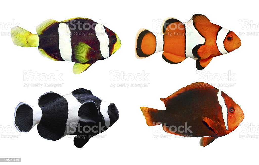The Clownfish. stock photo
