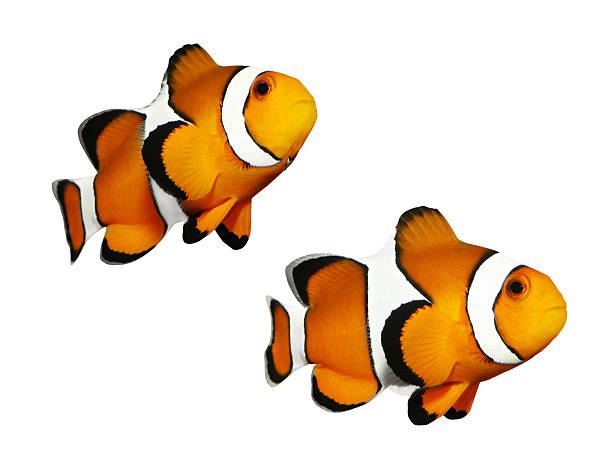 The Clownfish (Amphiprion ocellaris). Set of a clownfish in different positions isolated on a white background.  anemonefish stock pictures, royalty-free photos & images