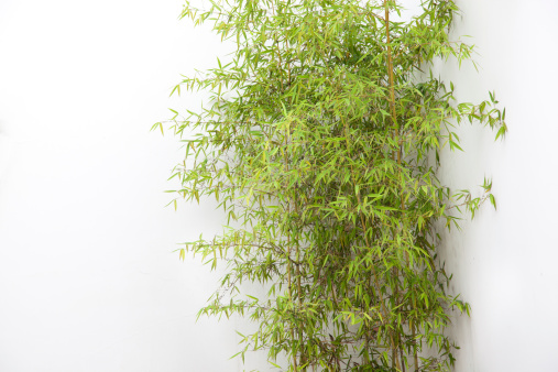 The clump of bamboo by white wall
