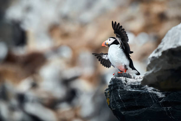 The coast of the island of Hornoya in Norway from which the North Papuchalk takes off. Atlantic puffin (Fratercula arctica), also known as the common puffin. Bird in natural habitat. stock photo