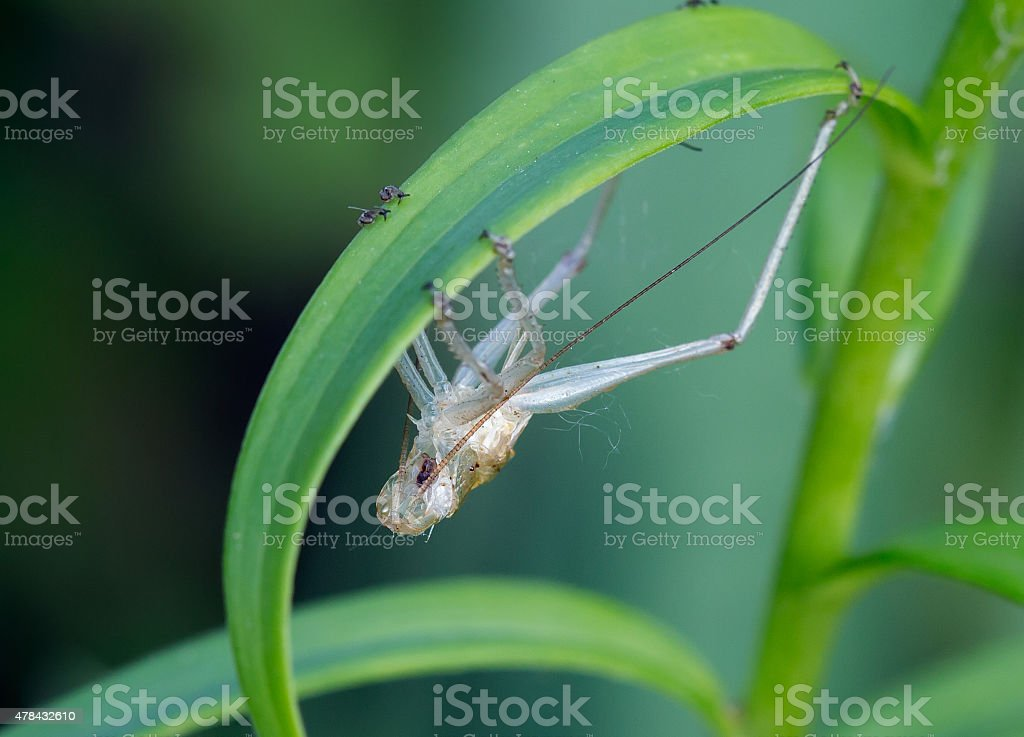 The coat of the grasshopper. stock photo