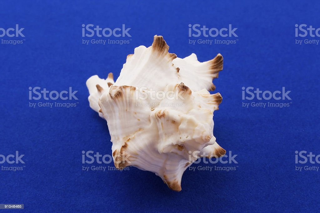 the cockle-shell isolated on blue velvet stock photo