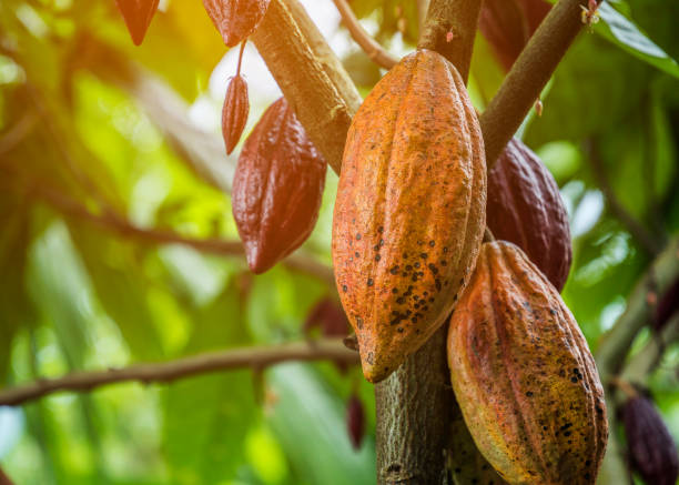 The cocoa tree with fruits. Yellow and green Cocoa pods grow on the tree, cacao plantation in village Nan Thailand. The cocoa tree with fruits. Yellow and green Cocoa pods grow on the tree, cacao plantation in village Nan Thailand. theobroma stock pictures, royalty-free photos & images