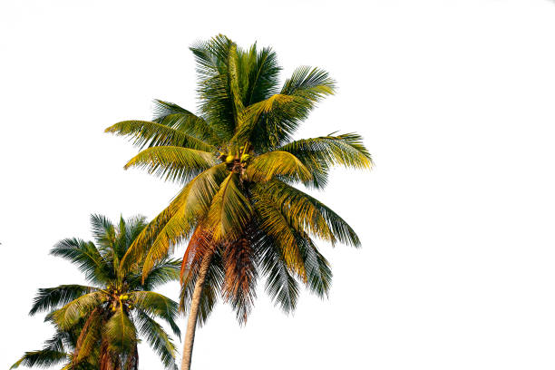 The coconut tree isolated on white background stock photo