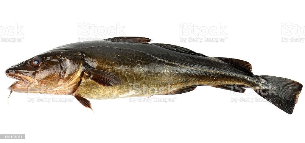 The cod fish royalty-free stock photo