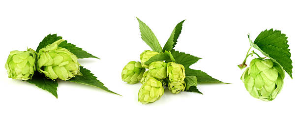 The collage green hop. stock photo