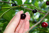 Female hand picks ripe cherry berries from a tree
