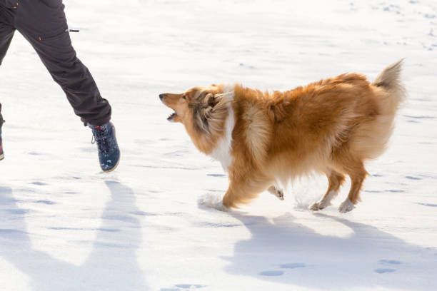The collie dog barking to man on snow field stock photo