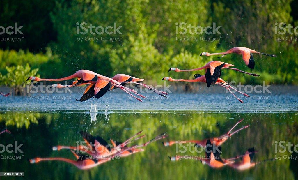 The colony of the Caribbean flamingo stock photo